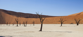 View of bare trees, sand dunes and blue sky in sunny desert - CAIF14546