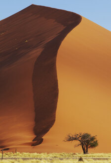 View of camel thorn tree growing at foot of huge sand dune - CAIF14549