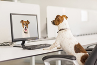Dog standing at desk in office - CAIF17486