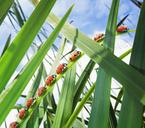 Ladybugs crawling up leaf - CAIF17795