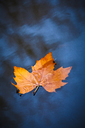 Maple leaf floating in still lake - CAIF18083