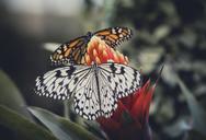 Spain, Canary Islands, butterflies on flower - STCF00461
