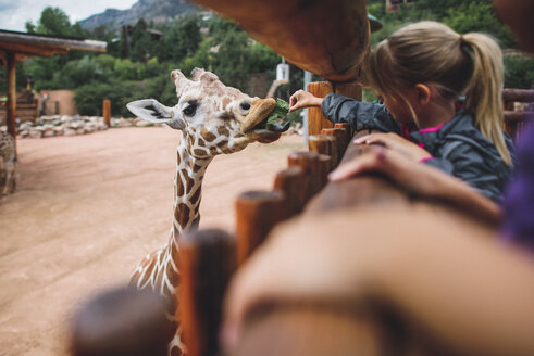 Girl feeding food to giraffe at zoo - CAVF10485