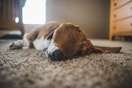 Dog lying on carpet at home - CAVF10503