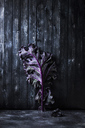 Close-up of purple kale on wooden wall - CAVF12090