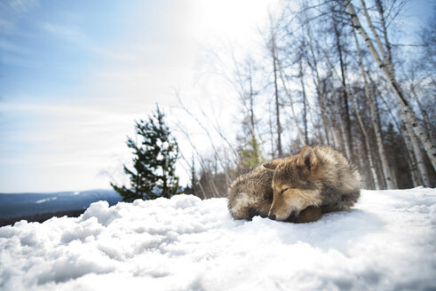 Dog sleeping on snow covered field during sunny day - CAVF14055