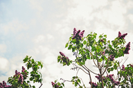 Low angle view of flowering branches against sky - CAVF15024