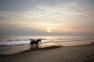Horses walking at shore during sunset - CAVF15114