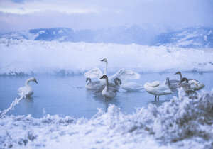 Swans in lake during winter - CAVF15255