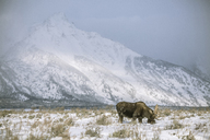 Moose grazing on snow covered field against mountain - CAVF15258