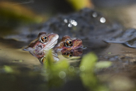 Close-up of frogs swimming in lake - CAVF16181