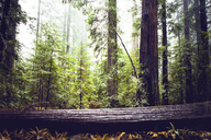Redwood trees at state park - CAVF16226