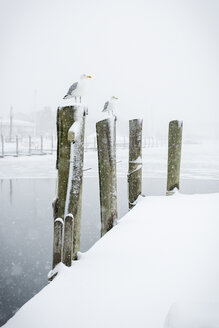 Seagulls perching on wooden posts during winter - CAVF17037