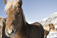 Portrait of Icelandic horse against clear blue sky - CAVF18005
