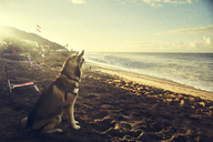 Side view of Husky sitting at beach - CAVF18053
