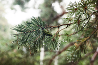 Close-up of dew drops on pine needles - CAVF20672