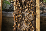 Close-up of honeybees on frame against wood - CAVF20825