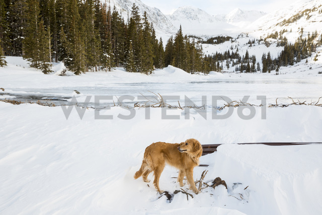 Golden Retriever on snow covered field - CAVF20966 - Cavan Images/Westend61
