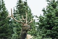 Deer looking away while standing at Rocky Mountain National Park - CAVF21383