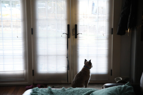 Rear view of dog looking through window while sitting at home - CAVF23144