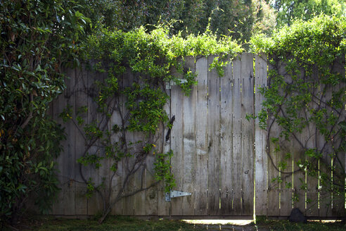 Creeper plant on wooden picket Fence - CAVF23825