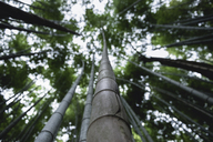 Low angle view of bamboos growing in forest at Arashiyama - CAVF24260