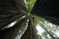 Low angle view of trees against sky at Redwood National Park - CAVF24467