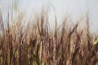 Wheat growing on field - CAVF25135