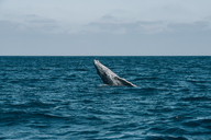 Humpback Whale breaching in sea waves against sky - CAVF26614