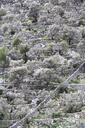 Spain, Balearic Islands, Mallorca, Caimari, terraced field with olive trees - WWF04221
