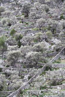 Spain, Balearic Islands, Mallorca, Caimari, terraced field with olive trees - WWF04221