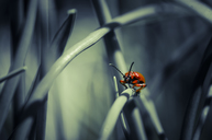 Lily leaf beetle on blade of grass - STCF00503