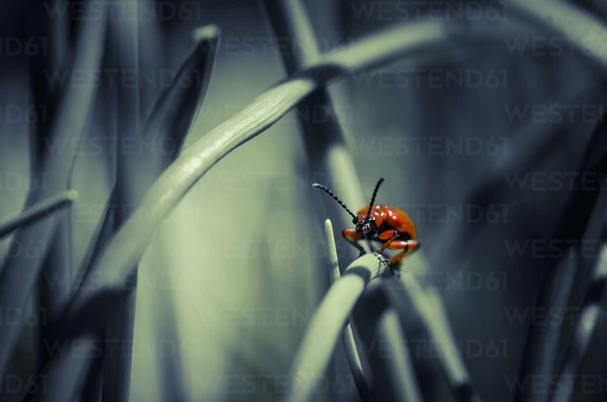 Lily leaf beetle on blade of grass - STCF00503 - Spotcatch/Westend61
