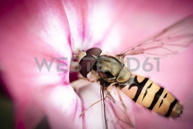 Hoverfly, Syrphidae on blossom - STCF00518