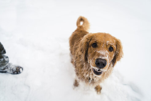 High angle portrait of Golden Retriever standing on snow covered field - CAVF27319