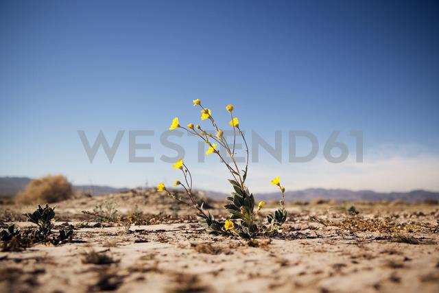 Yellow flowering plant growing on field against sky - CAVF27816