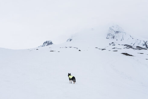 Dog standing on snow covered field at Mount Hood - CAVF28377