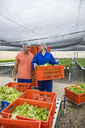 Workers in greenhouse carrying crate with freshly harvested vegetables - ZEF15195