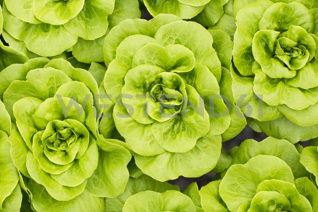 Lettuce growing in greenhouse - ZEF15201