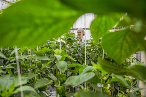 Young woman working in greenhouse, pruning vegetable plants - ZEF15210