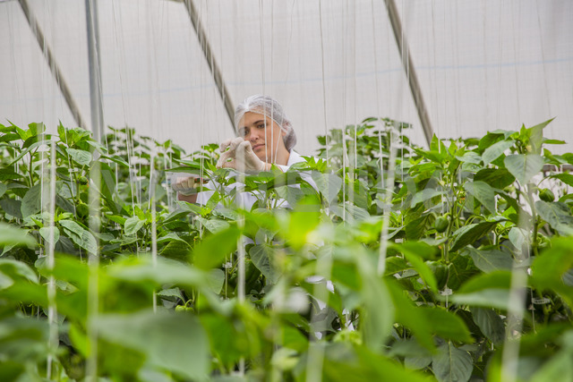 Young woman working in greenhouse, pruning vegetable plants - ZEF15213