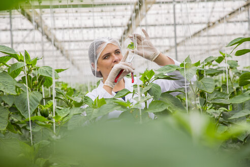 Young woman working in greenhouse, pruning vegetable plants - ZEF15216