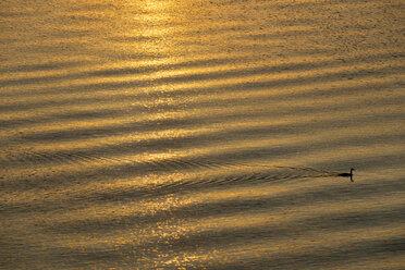 Lake Constance, cape giant petrel at sunrise - SHF02011