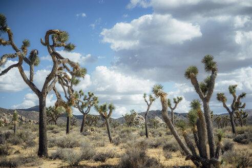 Trees at Joshua Tree National Park against cloudy sky - CAVF28639