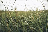 Close-up of wet grass on field against sky - CAVF28710