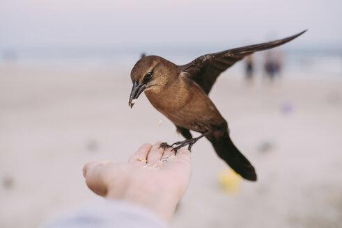 Close-up of man feeding bird at beach - CAVF28737