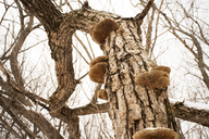 Low angle view of mushrooms growing on bare tree trunk during winter - CAVF30149