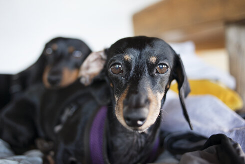Portrait of dachshund dogs sitting on bed - CAVF30212