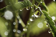 Close-up of water drops on twig - CAVF30308