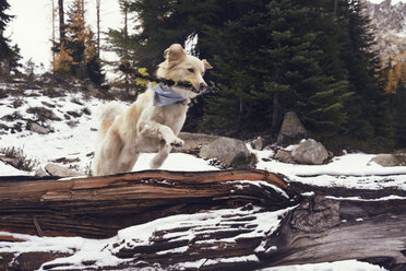 Dog with stick jumping over fallen tree trunk in forest during winter - CAVF30344